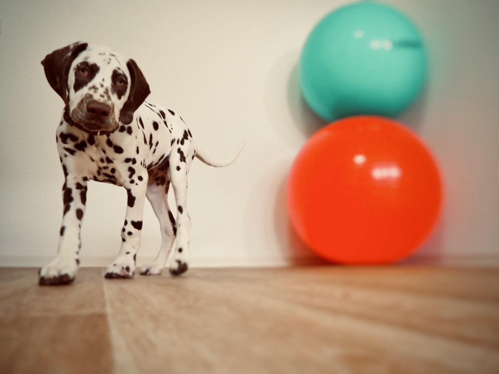 Therapiehund Bosse